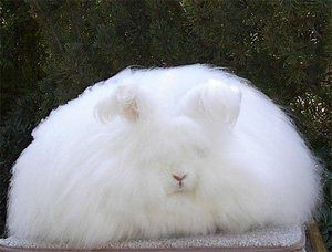 Angora dole králik