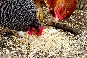 Ako podávať kurčatá