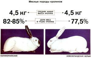 Vlastnosti chovných králikov mäsových plemien