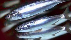 Vlastnosti: Hamsa fish (Čierne more)