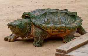 Vlastnosti života korytnačiek z griffinu