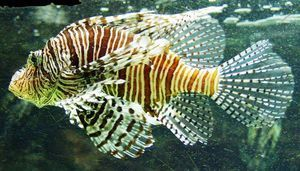 Lionfish alebo zebra ryby