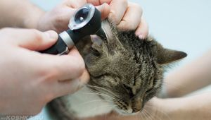 Liečba otitis u mačiek