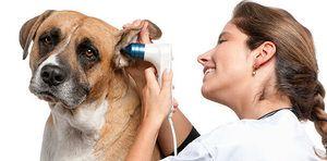 Otitis u psa ako na liečbu: alergický zápal stredného ucha