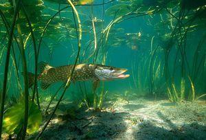Veľké ryby
