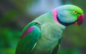 Parakeet alebo papagáj