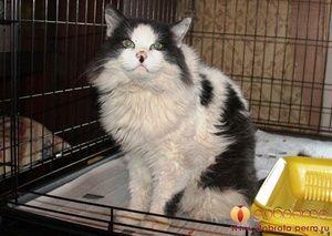 Pankreatitída u mačiek: príčiny, symptómy, diagnóza, liečba