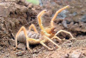 Spider falanx -