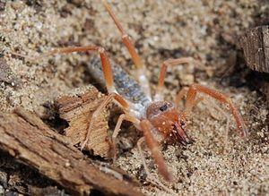 Čo sa tiež nazýva pavúk falanga