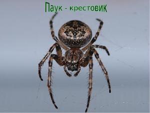 Spider Spider: Všeobecné charakteristiky, typy križiakov
