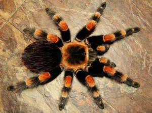 Spider tarantula doma