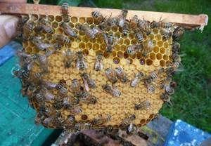 Včelí kostí: charakteristika plemena a vlastnosti včiel