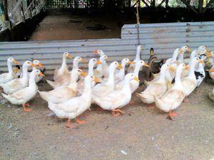 Peking kačica: chov doma