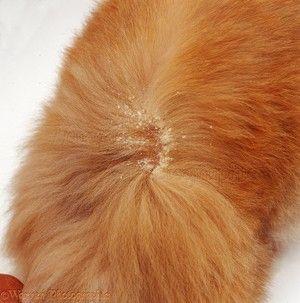 Ako liečiť mačky na lupy