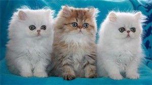 Perzské mačky a mačky