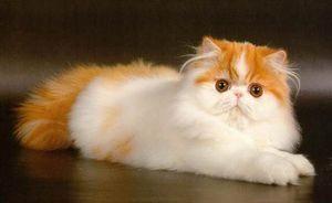 História perských mačiek