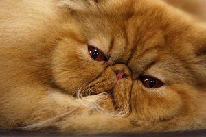 Charakteristika postáv perských mačiek