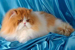 Údržba perských mačiek a ich starostlivosť