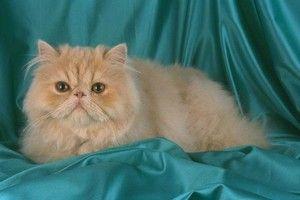 Chov perzských mačiek doma