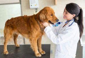 Pyometra pri symptómoch a liečbe psov