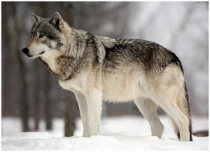 Po stopách lesného predátora po balení. Wolf, jeho farba a popis