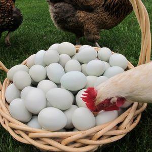 Prečo kurčatá môžu jesť svoje vajcia: čo robiť