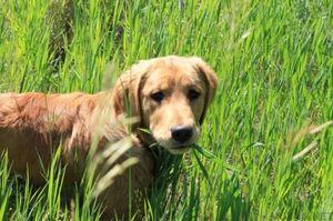 Prečo pes rád jesť trávu počas prechádzky?