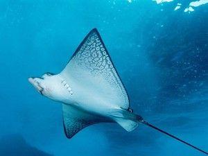 Podvodné lety morských lúčov. Úžasné ploché ryby