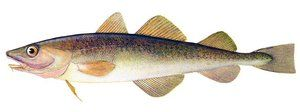Užitočné gastronomické vlastnosti Far Eastern navaga ryby