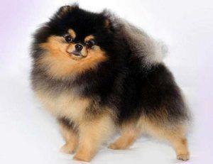 Pomeranian Black Spitz: popis, kŕmenie, tipy na starostlivosť
