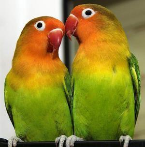 Papagáje sú neoddeliteľné: vlastnosti druhov, starostlivosť a obsah