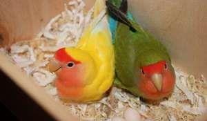 Spodok klietky pre papagáje