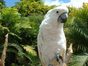 Parrot kakadu: krásny vták, spoločník a priateľ
