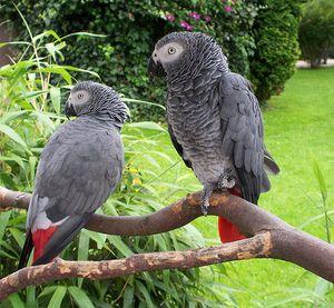 Parrot je chamtivý alebo africký šedý papagáj