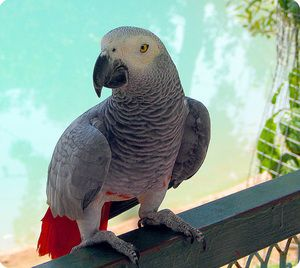 Ako vyzerá papagáj zhako