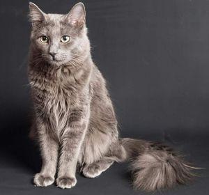 Plemeno mačiek nibelung a jeho charakteristiky