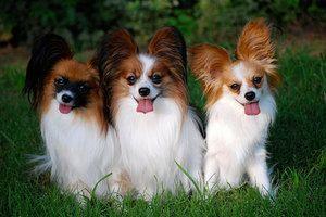 Plemeno psov plemena: kontinentálne, že španiel