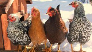 Druhy kurčiat: najlepšie vrstvy pre farmu
