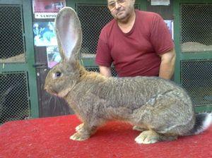 Plemená najväčších králikov na svete