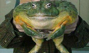 Sníval o veľkej ropucha, ktorá môže snívať žaba