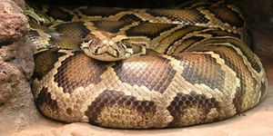 Sníval veľký had? Čo môže tento plazy sen?