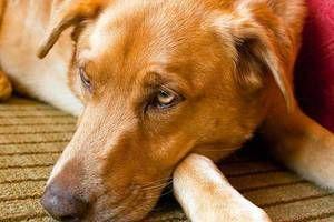Známky naznačujúce infekciu psa s červami