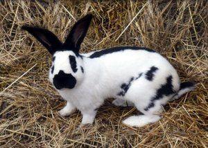 Koľko živých králikov z mäsových plemien