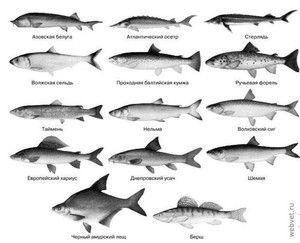 Odrody komerčných rýb