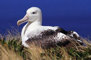 Vták z albatrosu. Kto sú blázniví albatrosi?