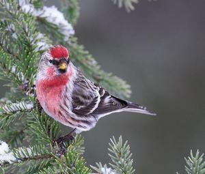 Birdie s červenými prsníkmi