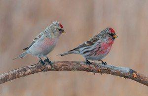 Vtáky z kohútika