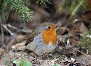 Bird robin: vzhľad, rysy a výživa