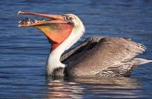 Bird pelikán: spôsob života, obydlia, kde sú ryby stohované