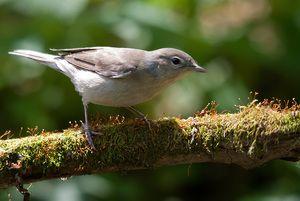 Vtáčna záhradná metla: malá sólistka lesného divadla